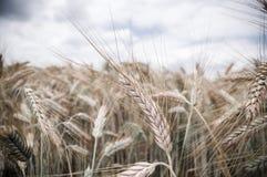 Зрелые уши пшеницы стоковое изображение rf