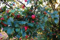 Зрелые яблоки на вале Стоковое Изображение RF