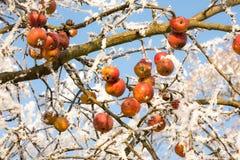 Зрелые яблоки предусматриванные с заморозком Стоковые Изображения