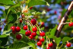 Зрелые ягоды вишни на ветви дерева в саде Стоковое Изображение