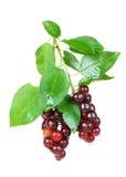 Зрелые ягоды вишни птицы Стоковые Изображения