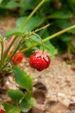 Зрелые ягоды и клубника листвы Клубники на strawberr Стоковая Фотография