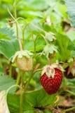 Зрелые ягоды и клубника листвы Клубники на strawberr Стоковые Изображения
