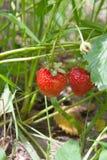 Зрелые ягоды и клубника листвы Клубники на strawberr Стоковое фото RF