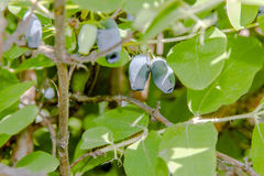 Зрелые ягоды каприфолия на ветви Стоковое фото RF