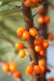 Зрелые ягоды мор-крушины Стоковые Изображения RF