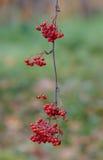 Зрелые ягоды рябины Стоковое Изображение RF