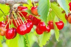 Зрелые ягоды сладостной вишни на ветви, конец-вверх Стоковые Изображения RF