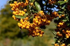 Зрелые rowanberries Стоковая Фотография