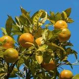 зрелые tangerines Стоковые Фото