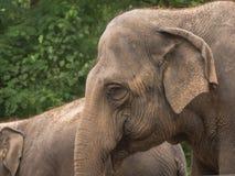 Зрелый азиатский слон Стоковая Фотография RF