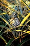 Зрелый ананас на плантации на острове Оаху, Гаваи Стоковое фото RF