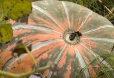 Зрелый апельсин тыквы с зелеными нашивками, штриховатостями лежа на gro Стоковые Изображения RF