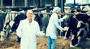 Зрелый ветеринар и женский ассистент в cowhouse стоковые фотографии rf