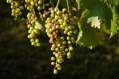 Зрелый висеть виноградин Стоковое Изображение RF