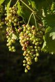 Зрелый висеть виноградин Стоковое Фото