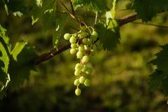 Зрелый висеть виноградин Стоковая Фотография RF