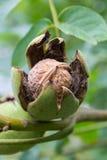 Зрелый грецкий орех Стоковая Фотография