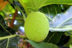 Зрелый джекфрут на дереве Стоковые Фотографии RF