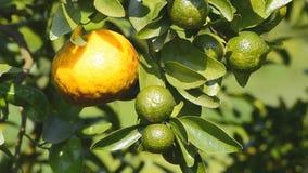 Зрелый и сырцовый апельсин на дереве в заводе сада акции видеоматериалы