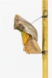 Зрелый кокон общей birdwing бабочки Стоковое Фото
