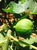Зрелый конец-вверх смоквы Стоковые Фото