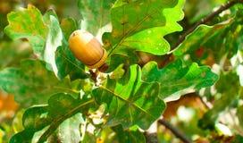 Зрелый коричневый цвет жолудя Стоковое фото RF