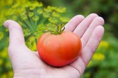 Зрелый красный томат в руке Стоковые Фото