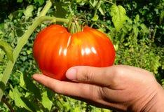 Зрелый красный томат стоковая фотография