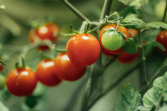 Зрелый куст томатов вишни стоковое изображение