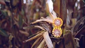 Зрелый маис на ударе в культивируемом аграрном кукурузном поле готовом для рудоразборки сбора Стоковые Фотографии RF