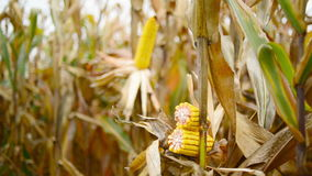 Зрелый маис на ударе в культивируемом аграрном кукурузном поле готовом для рудоразборки сбора Стоковые Изображения RF