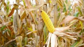 Зрелый маис на ударе в культивируемом аграрном кукурузном поле готовом для рудоразборки сбора Стоковая Фотография