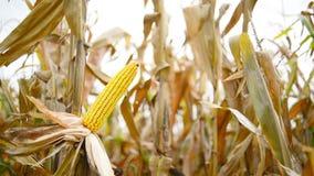Зрелый маис на ударе в культивируемом аграрном кукурузном поле готовом для рудоразборки сбора Стоковое Фото