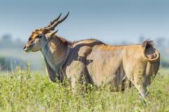 Зрелый общий самец оленя Eland стоковые изображения