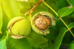 Зрелый открытый зеленый плодоовощ грецкого ореха на ветви Стоковые Изображения RF