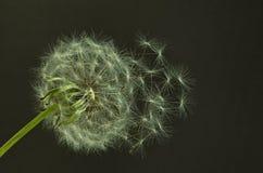 Зрелый одуванчик с семенами Стоковые Изображения