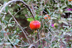 Зрелый плодоовощ гранатового дерева на ветви дерева, предпосылке листвы Стоковое Изображение