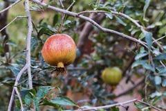 Зрелый плодоовощ гранатового дерева на ветви дерева, предпосылке листвы Стоковые Изображения