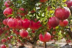 Зрелый плодоовощ гранатового дерева на ветви дерева Стоковые Фото