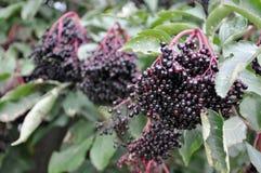 Зрелый плодоовощ смертной казни через повешение elderberry на дереве Стоковая Фотография