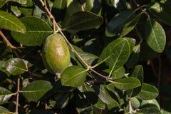 Зрелый плодоовощ feijoa на дереве Стоковые Фотографии RF