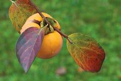 Зрелый плодоовощ Kaki Стоковая Фотография RF