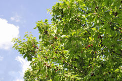 зрелый свежий плодоовощ вишни на ветви дерева и окруженной к солнечный день Стоковое Изображение