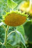 Зрелый солнцецвет Стоковые Фотографии RF