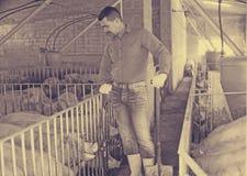 Зрелый фермер в ангаре с боровами стоковое изображение rf