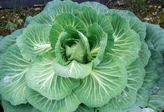 Зрелый цветок капусты готовый для рудоразборки! Стоковое Изображение