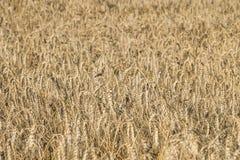 Зрелый locusta пшеницы в полях Стоковые Изображения RF