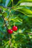 2 зрелых вишни на ветви Стоковые Фотографии RF