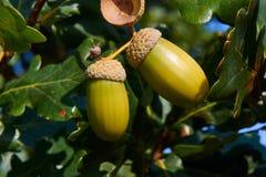 2 зрелых жолудя на ветви дерева Стоковое Изображение RF